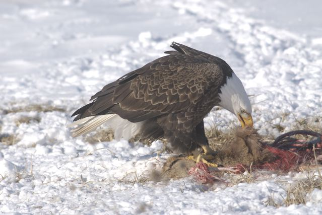 An opportunistic bald eagle feeds on a road-killed deer near Littleport.
