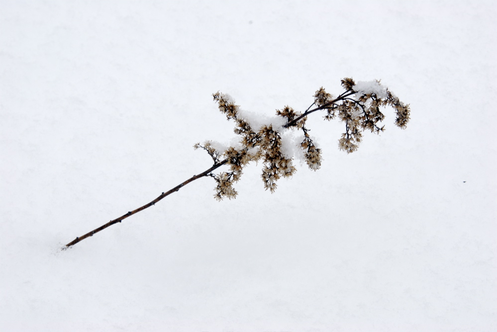 goldenrod & snow