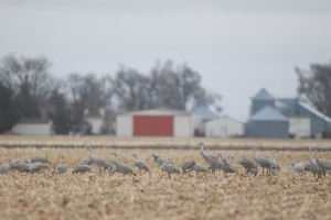 Sandhill cranes feed in a corn field near Kearney, Neb.