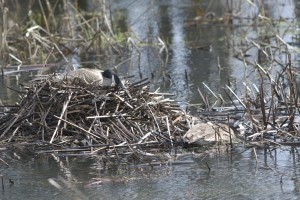 A pair of Canada geese at their nest in the Wapsi River bottoms.