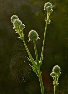 rattlesnakemaster, cobweb