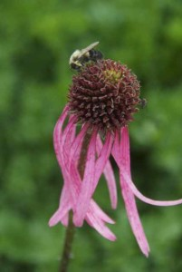 Bumblebee & coneflower