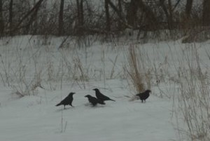 Crows feast on leftovers