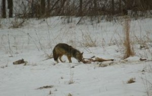 Hungry coyote gnaws on a deer carcass