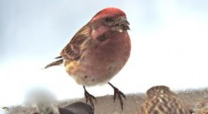 Please don't eat the purple finch!