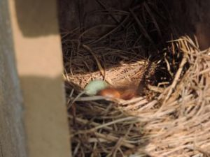 Bluebirds starting to hatch
