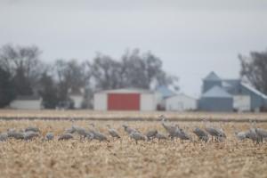 Sandhill cranes feed in a corn field near Kearney, Neb.