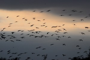 Sandhill cranes prepare to go to roost for the night on sandbars in the Platte River.