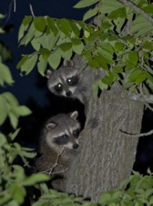 treed coons