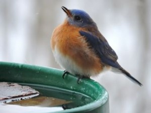 A hardy bluebird returns early to await the spring