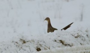 A hen pheasant searches for food uncovered by the snowplow