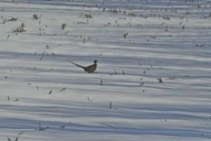 Vulnerable pheasant