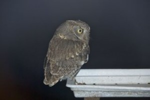 Screech owl in search of mouse