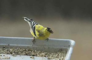 Motley goldfinch