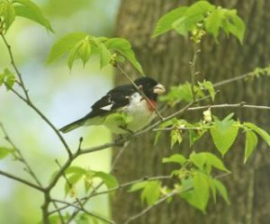 Rose-breasted grosbeak eating hackberry flowers